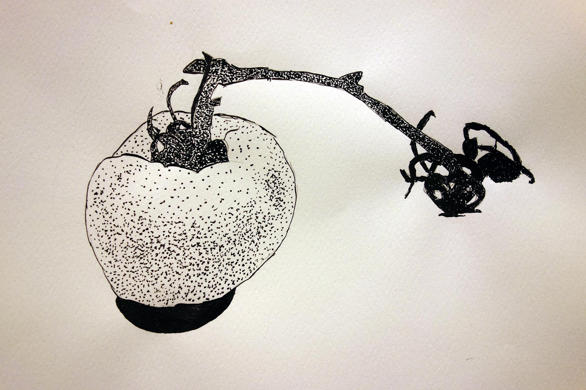 Natural studies: ink drawing of a tomato, year 9 and 10