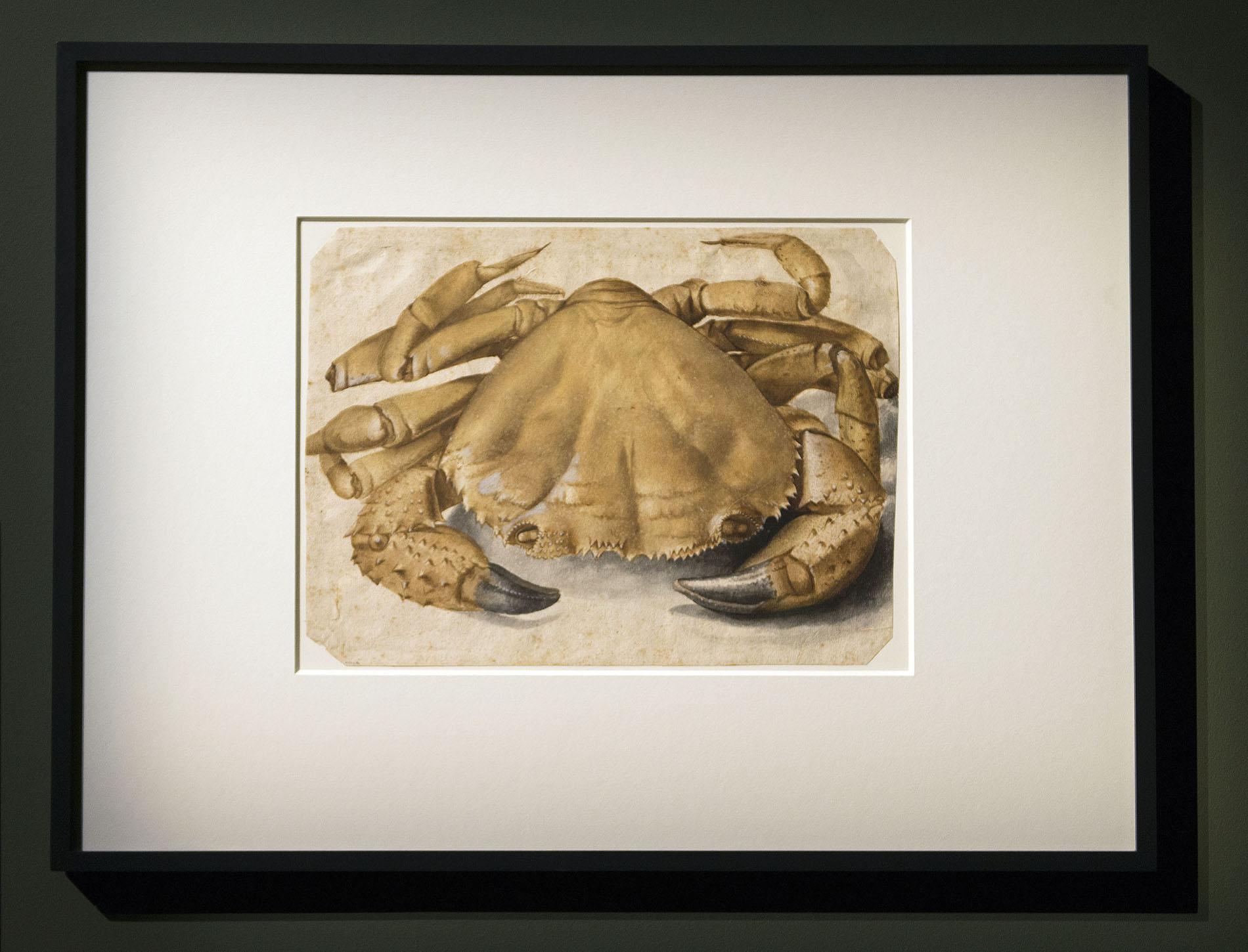 Ausstellungsansicht Palazzo Reale Milano, Albert Dürer, Krebs, 1495, Aquarell auf Papier © Foto: Paolo Poce
